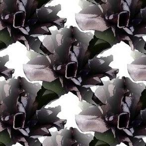 Purple Frills