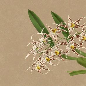 Odontoglossum Cirrhosum Tea Towel