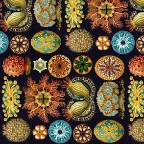 Ernst Haeckel Ascidiae Sea Squirts  Railroaded