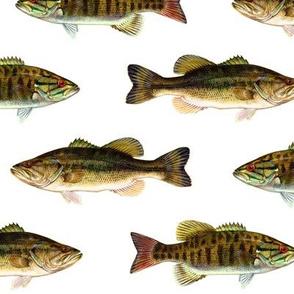 "5"" smallmouth bass and largemouth bass on white"