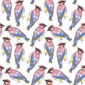 Cedar waxwing or Bombycilla cedrorum birds painting