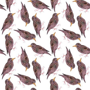 Common starling or European starling birds