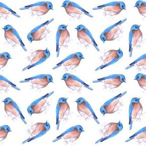 Eastern bluebird or Sialia sialis bird watercolor birds painting