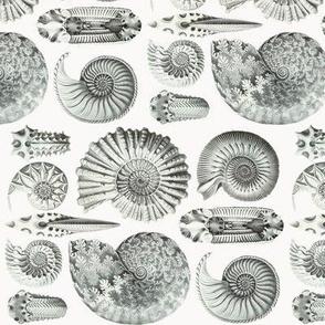 Ernst Haeckel Ammonitida Ammonite Railroaded