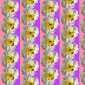 White Poppy with Bees Pink and Purple