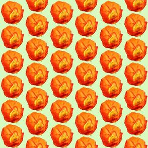 Orange Poppy with Green