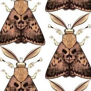 Big Brown Skull Moth