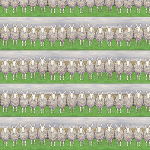 border leicester sheep in a line