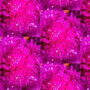 Hot Pink Daisies
