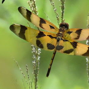 Halloween Pennant Dragonfly Montage