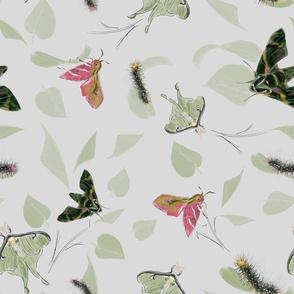 caterpillar_and_moths_verschm_150