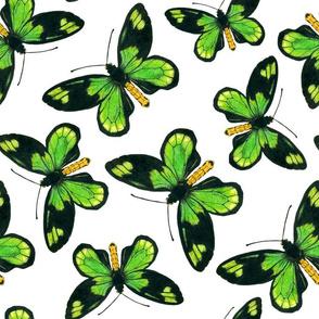Queen Victoria's birdwing butterfly 2