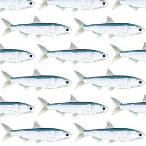 Northern Anchovy fish