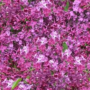 Amid the lilacs
