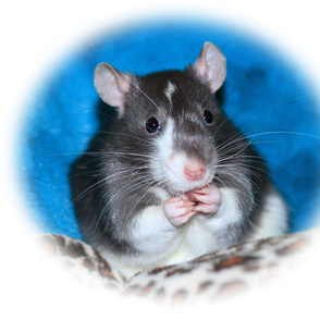 Figaro Rat