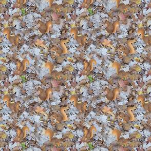fox squirrels on oak leaf litter