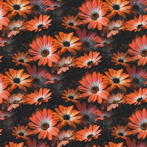 Fleurs de marguerite orange - Orange Daisy flowers