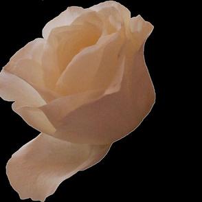 Single White Roses By KABFA