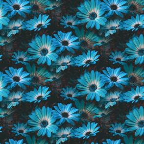 Fleurs de marguerite bleu - Blue Daisy flowers