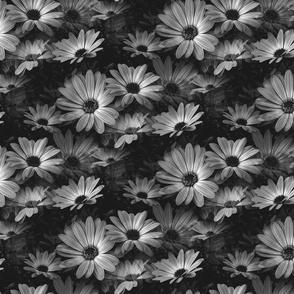 Fleurs de marguerite gris - Grey Daisy flowers