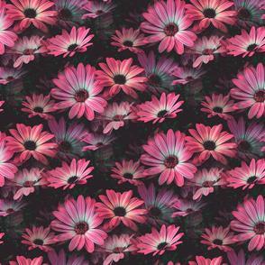 Fleurs de marguerite rose - Pink Daisy flowers