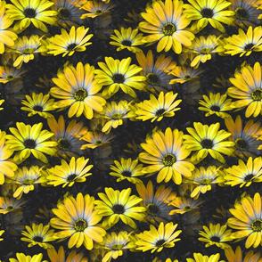 Fleurs de marguerite jaune - Yellow Daisy flowers
