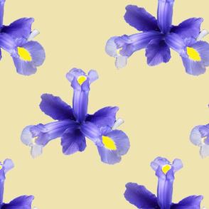 Bluebeared Iris Flower Heads