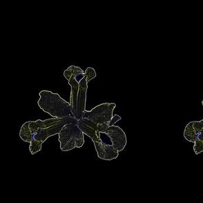 Black Gothic  Image of Iris Flower My KABFA Designs