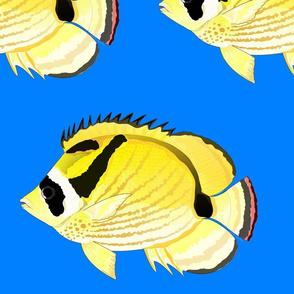 Raccoon ButterflyFish on sea blue