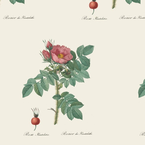 Beach Rose (Rosa rugosa) - Large (Muted)