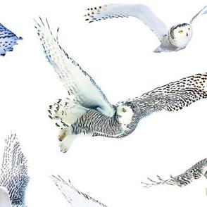 Snowy Owl White Background