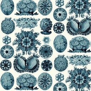 Ernst Haeckel Ascidiae Cerulean Monochrome