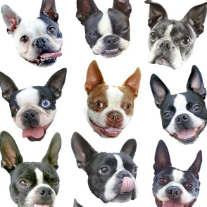 Boston Terriers white large