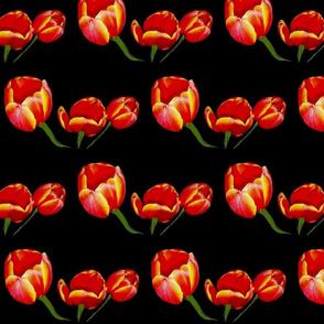 Red Rocket Tulips on Black