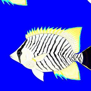 Chevron Butterflyfish on dark blue