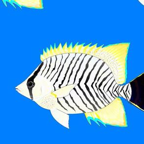 Chevron Butterflyfish on sea blue
