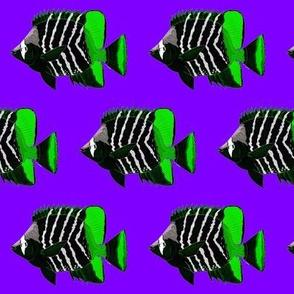 Atoll Butterflyfish rock n roll