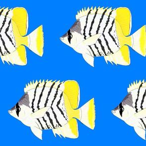 Atoll Butterflyfish on sea blue