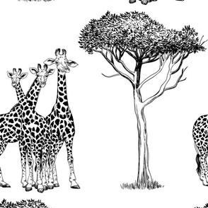 Giraffe family in black and white