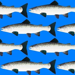 Atlantic Salmon on sea blue