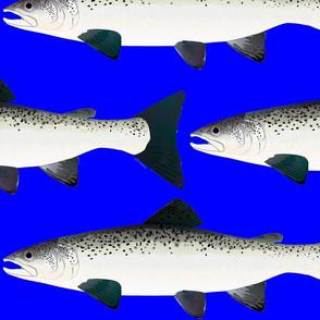 Atlantic Salmon life size on dark blue