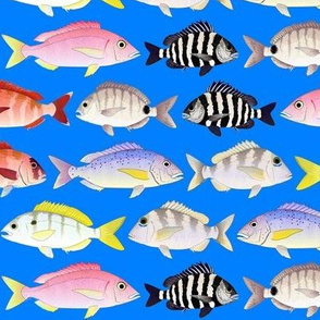 7 Porgies on sea blue
