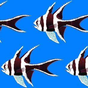 Banggai Cardinalfish Reversed colors on sea blue