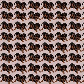 Dachshund Puppies-Mini