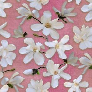 Magnolia Kobus on pink 1