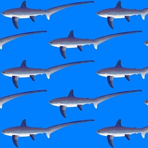 C. Thresher Shark on sea blue
