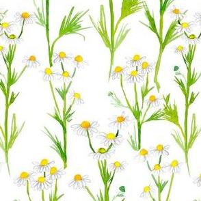 chamomile on white