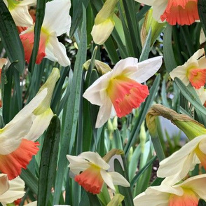 Dancing With The Daffodils
