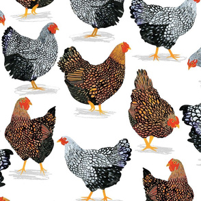 Plucky Chickens White