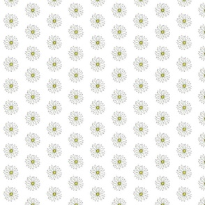 Dozens of daisies